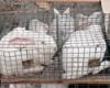 Ульяновск. Кролики - это не только ценный мех